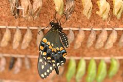 New Born Butterfly Royalty Free Stock Image