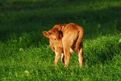 New Born Calf Stock Photos