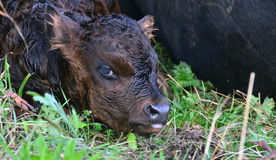 New Born Calf Stock Photo