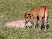 New Born Calf royalty free stock image