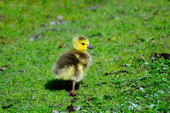 A new born Canada Geese Stock Photo