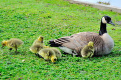 New born Canada Geese and their mother Royalty Free Stock Photography