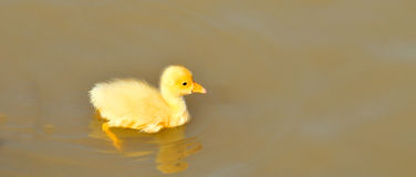 New born chick Stock Image