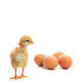 New born chick and eggs on white use for new beginning conceptio Stock Images