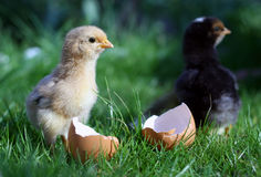 New born chicken Stock Images