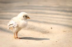 New born Chicken in outdoor poultry royalty free stock photography