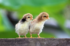 New born chicks Royalty Free Stock Photography