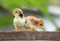 New born chicks Royalty Free Stock Photos