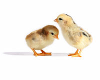 New born chicks Stock Photography