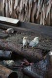 New born chicks. Cute new born chicken on wood Stock Photo