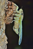 New-born cicada 1 Royalty Free Stock Images