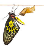 New born Common Birdwing butterfly emerge from cocoon Stock Photos
