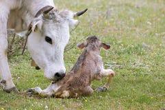 New Born Cow Royalty Free Stock Photo