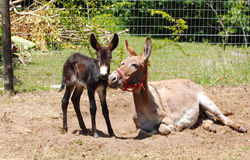 Donkey mare with foal on farm Stock Photos