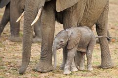 New born elephant calf standing close to mum for protection in South Luangwa National Park. Newborn Elephant calf standing next to Mum`s leg in South Luangwa Royalty Free Stock Photos