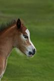 New Born Foal Stock Photography