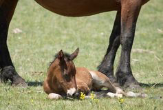 New-born foal. Mare with colt Stock Photos
