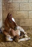 New born foal in Mexican stable. New born bay foal laying down on shavings in Mexican stable royalty free stock images