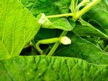 New born fresh Calabash vegetable plant. stock photos