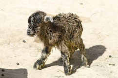 New born goat. New born dwarf goat with dark sticky rough fur Royalty Free Stock Images