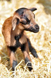 New born goat. Newborn goat in the hay Stock Images
