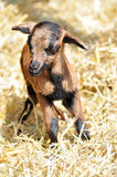 New born goat. Newborn goat in the hay Royalty Free Stock Images