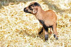 New born goat. Newborn goat in the hay Stock Photography