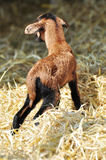 New born goat. Newborn goat in the hay Royalty Free Stock Photo