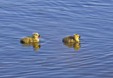 New Born Goslings Out For A Swim Royalty Free Stock Photo