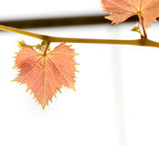 New born of grape leaf. New born of red grape leaf Royalty Free Stock Photography