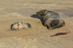 A new born Grey Seal pup Halichoerus grypus lying on the beach near its resting mother at Horsey, Norfolk, UK. Royalty Free Stock Photography