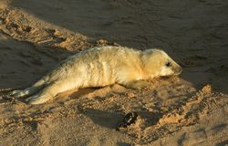 A new born Grey Seal pup Halichoerus grypus lying on the beach on a sunny day at Horsey, Norfolk, UK. Royalty Free Stock Photography
