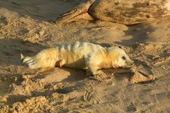 A newly born Grey Seal pup Halichoerus grypus lying on the beach on a sunny day at Horsey, Norfolk, UK. A new born Grey Seal pup Halichoerus grypus lying on the Stock Photography