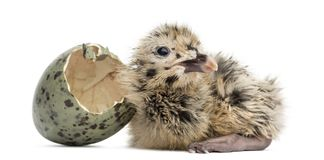 New-born Gull or Seagull with hatched egg, 6 hours, isolated on. White Stock Images