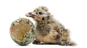 New-born Gull or Seagull with hatched egg, 6 hours, isolated on. White Royalty Free Stock Photography