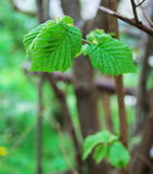 New born hazel leaves Royalty Free Stock Images