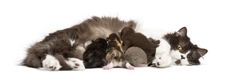 New-born Highland straight or fold kitten lying, 1 week old Royalty Free Stock Photo