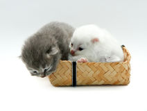 New born kitten. On white background Stock Image