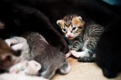 New Born Kitten Stock Photography