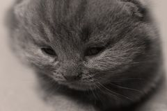 British Shorthair blue kitten with cute face, portrait royalty free stock photos