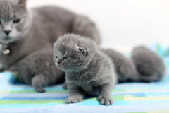New born kitten, first day of life Royalty Free Stock Image