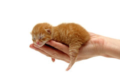 New born kitten in hand isolated on white. Background. Two days from birth stock images