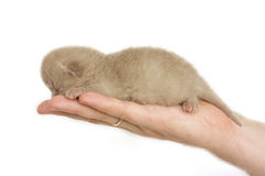 New-born kitten sleeping on men's palm Royalty Free Stock Image