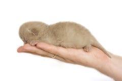 New-born kitten sleeping on men's palm. Isolated on white background Royalty Free Stock Image