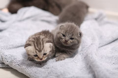 New born kittens, first day of life Royalty Free Stock Photos