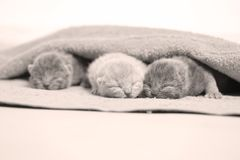 New born kittens sleeping in a towel, first day of life. British Shorthair new borns sitting in a cozy towel Stock Photography
