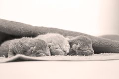 New born kittens sleeping in a towel, first day of life. British Shorthair new borns sitting in a cozy towel Stock Image