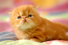 New born kitty Royalty Free Stock Photography