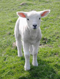 New Born Lamb. In Early Spring Royalty Free Stock Photos