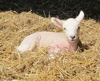 New Born Lamb. A newly born lamb rests in straw royalty free stock photo